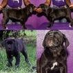Cane Corso Puppy For Sale in TAMPA, FL, USA