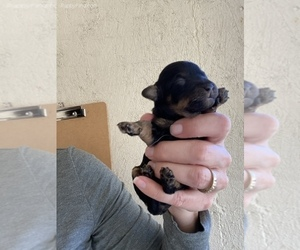 Yorkshire Terrier Puppy for sale in SIERRA VISTA, AZ, USA