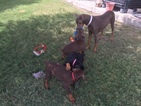 Doberman Pinscher Puppy For Sale in CIBOLO, TX,