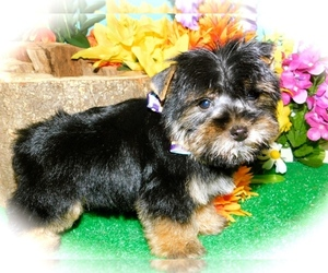 Yorkshire Terrier Puppy for sale in HAMMOND, IN, USA