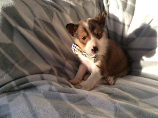 Shetland Sheepdog Puppy For Sale in EAST EARL, PA