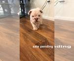 Puppy 6 Bulldog