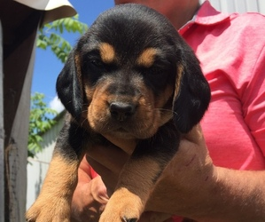 Beagle Puppy for sale in BECKLEY, WV, USA