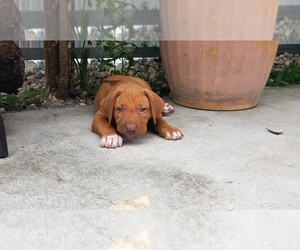 Rhodesian Ridgeback Puppy for Sale in KENDALL, Florida USA