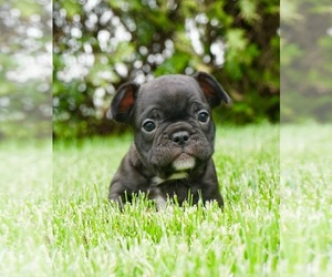 French Bulldog Puppy for Sale in WARSAW, Indiana USA