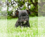 Puppy 11 French Bulldog