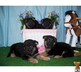 King Size German Shepherd Puppies