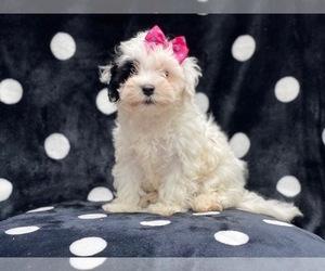Maltipoo Dog for Adoption in LAKELAND, Florida USA