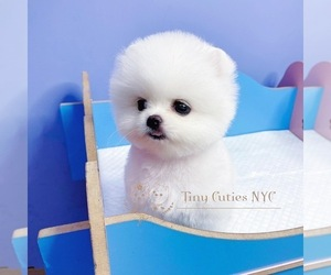 Pomeranian Puppy for sale in ASTORIA, NY, USA