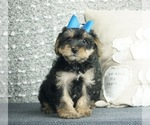 Puppy 15 Poodle (Toy)-Yorkshire Terrier Mix