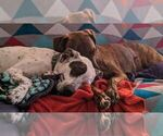 Small #11 German Shorthaired Pointer Mix