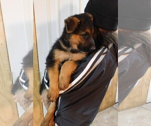 German Shepherd Dog Puppy for Sale in MORRISVILLE, Missouri USA
