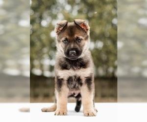 German Shepherd Dog Puppy for sale in ELKHART, IN, USA