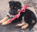 German Shepherd Dog Puppy For Sale in PORTERVILLE, CA, USA