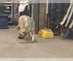 Small #5 Great Dane-Labrador Retriever Mix