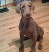 Doberman Pinscher Puppy For Sale in INDEPENDENCE, MO