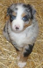 Australian Shepherd Puppy For Sale in KEOKUK, IA, USA