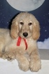 Eddy F1 Goldendoodle