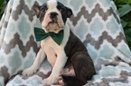Boston Terrier Puppy For Sale in HONEY BROOK, PA, USA