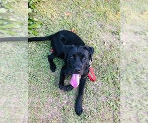 Boxador Puppy for sale in TAMPA, FL, USA