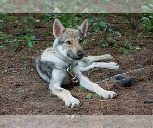 Czech Wolfdog Puppy for Sale in MILWAUKEE, Wisconsin USA