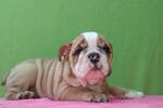 Bulldog Puppy For Sale in CHARLESTON, SC, USA