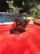 Yorkshire Terrier Puppy For Sale in PENSACOLA, FL, USA