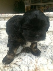 Shih-Poo Puppy for sale in WHITE HOUSE, TN, USA