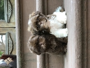 Shih Tzu Puppy For Sale in NEW YORK, NY, USA