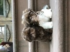 Shih Tzu Puppy For Sale in NEW YORK, NY,
