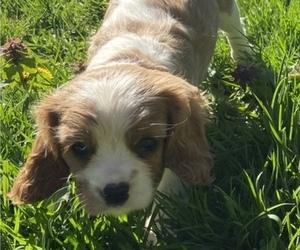 Cavalier King Charles Spaniel Puppy for Sale in BONNEY LAKE, Washington USA