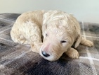 Poodle (Standard) Puppy For Sale in SWANSBORO, North Carolina,