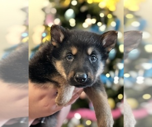 German Shepherd Dog Puppy for sale in JEFFERSON, OR, USA