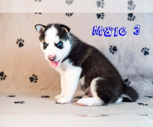 Siberian Husky Puppy for Sale in MELBOURNE, Florida USA