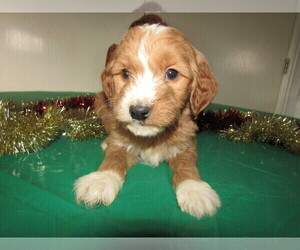 Goldendoodle Puppy for sale in CHICAGO, IL, USA