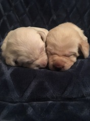 Labrador Retriever Puppy for sale in BEDFORD, TX, USA