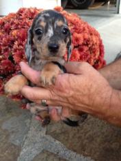 View Ad Dachshund Puppy For Sale Near Kentucky Jamestown Usa Adn