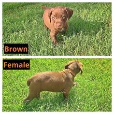 German Shorthaired Pointer Puppy for sale in WICHITA, KS, USA
