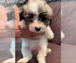 Puppy 1 Cotonese