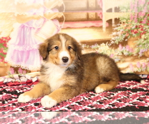 Bernese Mountain Dog-Collie Mix Puppy for sale in SHILOH, OH, USA