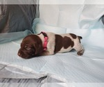 Small #8 German Shorthaired Pointer
