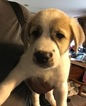 Anatolian Shepherd Puppy For Sale in GAINESVILLE, FL