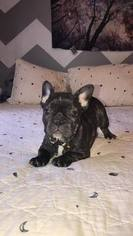 French Bulldog Puppy For Sale in TAZEWELL, VA