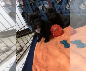 French Bulldog Puppy for sale in RICHMOND, RI, USA