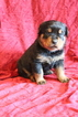 Rottweiler Puppy For Sale in LITITZ, PA,