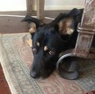 Small #4 German Shepherd Dog-Labrador Retriever Mix