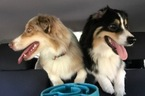 Australian Shepherd Dog For Adoption in GARDNER, KS, USA