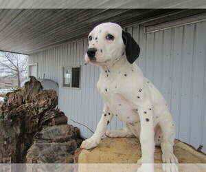 Dalmatian Puppy for sale in CHICAGO, IL, USA