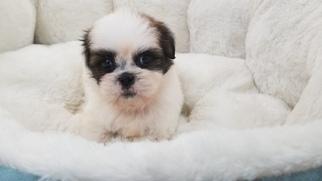 Shih Tzu Puppy For Sale in LA MIRADA, CA, USA