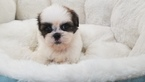Shih Tzu Puppy For Sale in LA MIRADA, CA, USA